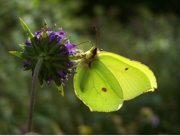 bc Brimstone butterfly nectars on Devil's-bit Scabious bc